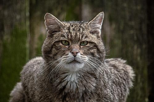 Wildkatzen-Kader