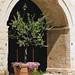 Barletta, Castello Svevo, flowering olive tree