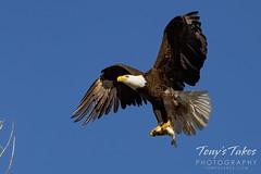 April 10, 2021 - Bald eagle bringing back breakfast. (Tony's Takes)