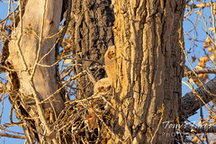 April 10, 2021 - Great horned owl owlets keeping watch. (Tony's Takes)