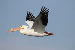 April 4, 2021 - Pelican flyby. (Bill Hutchinson)