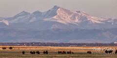April 11, 2021 - Bison in the shadows of the mountains. (Tony's Takes)
