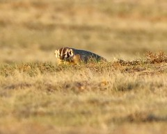 April 11, 2021 - Badger in the early morning light. (Bill Hutchinson)