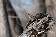April 3, 2021 - American robin on a mild morning. (Tony's Takes)