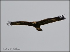 April 15, 2021 - A golden eagle flyby. (Bill Hutchinson)