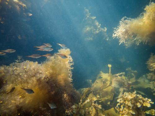 Baby leatherjackets, Tinderbox Marine Reserve, Tinderbox, Tasmania