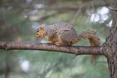 Backyard Red & Fox Squirrels (Ypsilanti, Michigan) - 105/2021 308/P365Year13 4691/P365all-time (April 15, 2021)