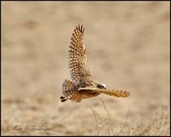 April 11, 2021 - Burrowing owl in flight. (Bill Hutchinson)
