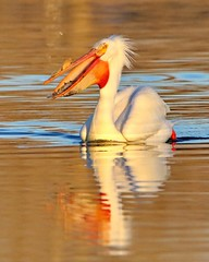 April 5, 2021 - Pelican on some calm waters. (Bill Hutchinson)