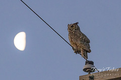 April 3, 2021 - Great horned owl keep watch with the moon. (Tony's Takes)