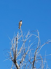 April 3, 2021 - Red tailed hawk in Broomfield. (David Canfield)