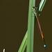 Male Damselfly - Ischnura aurora