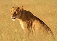 Lioness, Amboseli National Park, Kenya