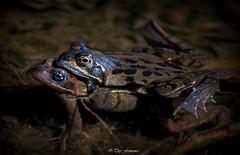 Frogs Oostvaarderplassen Lelystad