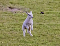Photo of Playful Lamb