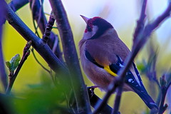 Photo of Goldfinch listening