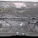Fissile cannel coal (Upper Freeport Coal, Middle Pennsylvanian; Diamond Coal Mine, Linton, Ohio, USA) 1