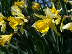 Photo of 2021 04 15- sunshine daffodils
