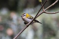 Photo of (118) Bird - Firecrest - Lynford Arboretum