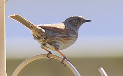 Photo of Dunnock.