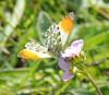 Male orange-tip butterfly (Anthocharis cardamines),Barford Road Pocket Park, St Neots, Cambridgeshire
