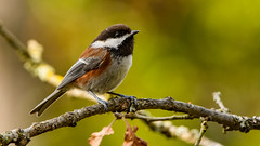 Chestnut-backed Chickadee 2