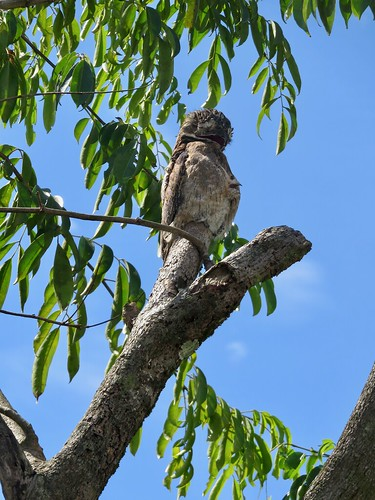 Pájara estaca con polluelo bajo el ala, Potú