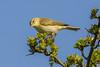 willow warbler (explore)