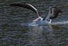 Pelican matchup...