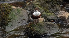 Photo of Dipper On Rock