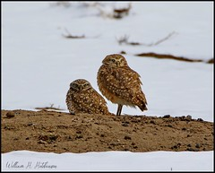 April 16, 2021 - Burrowing owls in the snow. (Bill Hutchinson)