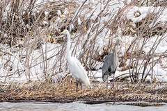 April 16, 2021 - A great egret and great blue heron hanging out. (Tony's Takes)
