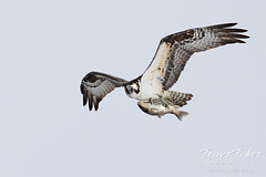 April 16, 2021 - Osprey showing off its catch. (Tony's Takes)