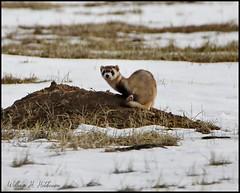 April 17, 2021 - Cool black-footed ferret. (Bill Hutcinson)