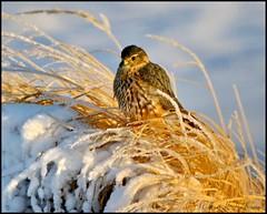 April 20, 2021 - Merlin in the snow. (Bill Hutchinson)