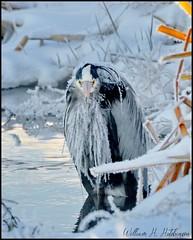 April 20, 2021 - A very cold looking heron. (Bill Hutchinson)