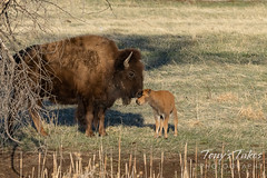 April 18, 2021 - Tender moment between bison and its calf. (Tony's Takes)