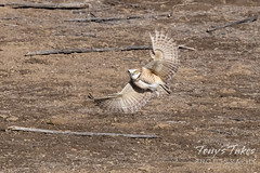 April 18, 2021 - Burrowing owl showing off. (Tony's Takes)