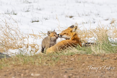 April 17, 2021 - Tender moment between a fox and its kit. (Tony's Takes)