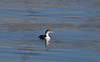 Great Northern Diver  7