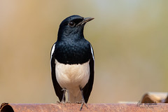 An Oriental Magpie Robin looking for food