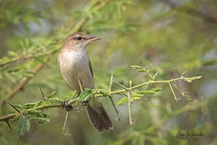 A Clamorous Reed Warbler near a marshy field