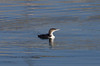 Great Northern Diver  8