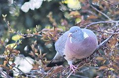 Photo of Fat pigeon