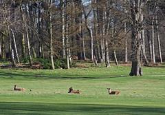 Photo of Wollaton Park deer