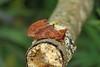 71.021 Coxcomb Prominent (Ptilodon capucina), Burntisland, Fife