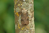 73.325 Shuttle-shaped Dart (Agrotis puta), Burntisland, Fife