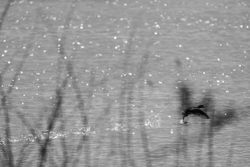 Envol de canard