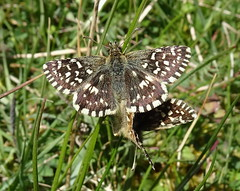 Photo of Pyrgus malvae (Grizzled Skipper)