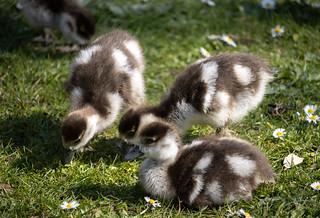 Eqyptian Goslings - Kew Gardens - UK